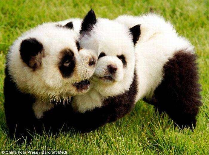 Perros Pandas en China